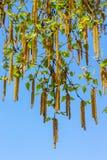 Τα σκουλαρίκια σημύδων κρεμούν στο υπόβαθρο ενός μπλε ουρανού σε ένα ηλιόλουστο ελατήριο day_ στοκ εικόνες με δικαίωμα ελεύθερης χρήσης