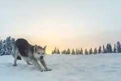 Τα σκυλιά ελκήθρων είναι το καλύτερο στοκ εικόνα με δικαίωμα ελεύθερης χρήσης