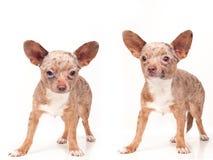 τα σκυλιά θέτουν δύο Στοκ Φωτογραφία