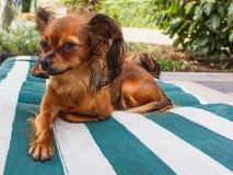 τα σκυλιά καλλιεργούν &delta Ρωσικό μακρυμάλλες τεριέ Α παιχνιδιών μακρύ Στοκ Φωτογραφία