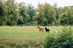 Τα σκυλιά παίζουν και τρέχουν στη φύση στοκ εικόνα