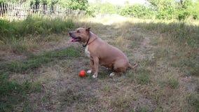 Τα σκυλιά τεριέ Staffordshire εκπαιδεύονται και περίπατος φιλμ μικρού μήκους