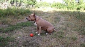 Τα σκυλιά τεριέ Staffordshire εκπαιδεύονται και περίπατος απόθεμα βίντεο