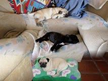 Τα σκυλιά κοιμούνται στο καθιστικό Στοκ φωτογραφίες με δικαίωμα ελεύθερης χρήσης