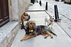 Τα σκυλιά περιμένουν τον περιπατητή σκυλιών τους στοκ εικόνα με δικαίωμα ελεύθερης χρήσης