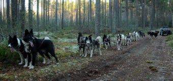 Τα σκυλιά που εκπαιδεύονται χωρίς χιόνι Στοκ Εικόνες