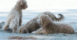 Τα σκυλιά σκάβουν τις τρύπες στην άμμο Στοκ φωτογραφία με δικαίωμα ελεύθερης χρήσης
