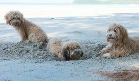 Τα σκυλιά σκάβουν τις τρύπες στην άμμο Στοκ Εικόνες