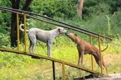 τα σκυλιά σκυλιών αγαπούν δύο Στοκ Φωτογραφίες