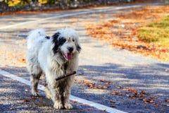 Τα σκυλιά φρουρούν τα πρόβατα στο λιβάδι βουνών Στοκ φωτογραφίες με δικαίωμα ελεύθερης χρήσης