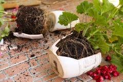 Τα σπασμένα δοχεία λουλουδιών με τις εγκαταστάσεις γερανιών βρίσκονται στο πάτωμα στοκ εικόνα