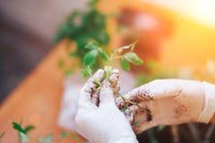 Τα σπορόφυτα ντοματών παραδίδουν τα γάντια κρατούν το νεαρό βλαστό είναι πηγαίνοντας εγκαταστάσεις ο στο πλαστικό δοχείο, transpo στοκ φωτογραφία