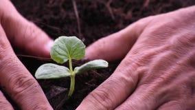 Τα σπορόφυτα του πεπονιού που προέρχονται από το σπόρο στο έδαφος και μαζεύουν με το χέρι επάνω το χώμα προσθέτουν στο δέντρο απόθεμα βίντεο