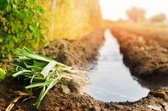 Τα σπορόφυτα των πράσων είναι έτοιμα για τη φύτευση στον τομέα Γεωργία, λαχανικά, οργανικά αγροτικά προϊόντα, αγροβιομηχανία στοκ φωτογραφία