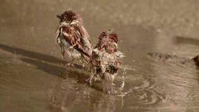 Τα σπουργίτια λούζουν σε μια λακκούβα απόθεμα βίντεο