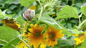 Τα σπουργίτια ραμφίζουν τους σπόρους ενός ηλίανθου φιλμ μικρού μήκους