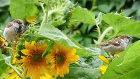 Τα σπουργίτια ραμφίζουν τους σπόρους ενός ηλίανθου απόθεμα βίντεο