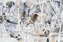 Τα σπουργίτια φορούν την ανησυχία ` τ για το κρύο Στοκ Εικόνα