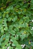 Τα στενά επάνω fabaceae galpinii bauhinia άποψης οφθαλμών φύλλων και λουλουδιών μάραναν το pantropical φυτό ορχιδεών Στοκ φωτογραφία με δικαίωμα ελεύθερης χρήσης