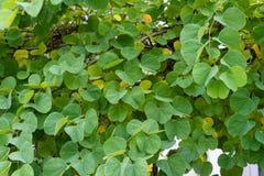 Τα στενά επάνω fabaceae galpinii bauhinia άποψης οφθαλμών φύλλων και λουλουδιών μάραναν το pantropical φυτό ορχιδεών Στοκ εικόνες με δικαίωμα ελεύθερης χρήσης