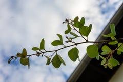 Τα στενά επάνω fabaceae galpinii bauhinia άποψης οφθαλμών φύλλων και λουλουδιών μάραναν το pantropical φυτό ορχιδεών Στοκ Φωτογραφία