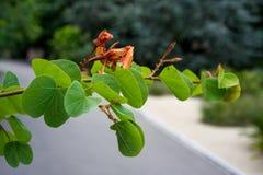 Τα στενά επάνω fabaceae galpinii bauhinia άποψης οφθαλμών φύλλων και λουλουδιών μάραναν το pantropical φυτό ορχιδεών Στοκ Φωτογραφίες