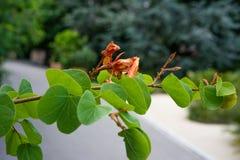 Τα στενά επάνω fabaceae galpinii bauhinia άποψης οφθαλμών φύλλων και λουλουδιών μάραναν το pantropical φυτό ορχιδεών Στοκ εικόνα με δικαίωμα ελεύθερης χρήσης