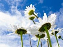 τα στενά λουλούδια μαργαριτών που βλασταίνονται κάτω από επάνω στο λευκό Στοκ Εικόνες