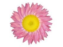 τα στοιχεία σχεδίου ανθίζουν το επικεφαλής ροζ Στοκ Εικόνες