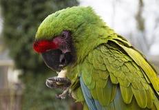Τα στρατιωτικά militaris Macaw Ara Στοκ Φωτογραφίες