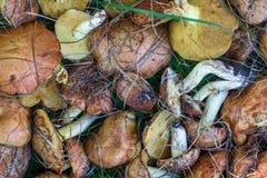 Τα συλλεχθε'ντα gresers μανιταριών βρίσκονται στο υπόβαθρο της πράσινης χλόης Στοκ Εικόνα
