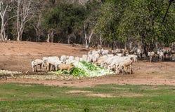 Τα ταϊλανδικές βόδια και οι αγελάδες τρώνε το σωρό του λάχανου στην αγροτική σκηνή Στοκ Εικόνες