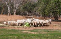 Τα ταϊλανδικές βόδια και οι αγελάδες τρώνε το σωρό του λάχανου στην αγροτική σκηνή Στοκ Εικόνα