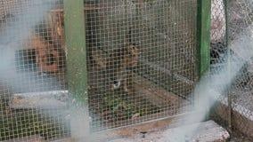Τα τρεξίματα λαγών στο κλουβί του βοτανικού κήπου απόθεμα βίντεο