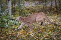 Τα τρεξίματα concolor Puma Cougar που αφήνονται το φθινόπωρο στοκ εικόνα