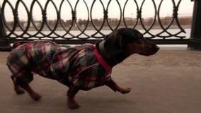 Τα τρεξίματα dachshund στο ανάχωμα κατά μήκος του ποταμού - σε αργή κίνηση απόθεμα βίντεο