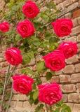 Τα τριαντάφυλλα αναρριχούνται σε έναν τουβλότοιχο Στοκ φωτογραφία με δικαίωμα ελεύθερης χρήσης