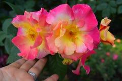 Τα τριαντάφυλλα κλείνουν επάνω σε μια φυτεία με τριανταφυλλιές Στοκ Φωτογραφία
