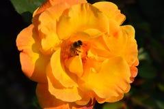 Τα τριαντάφυλλα κλείνουν επάνω σε μια φυτεία με τριανταφυλλιές Στοκ φωτογραφία με δικαίωμα ελεύθερης χρήσης