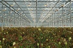 Τα τριαντάφυλλα αυξάνομαι καλύτερα κάτω από το τεχνητό υψηλό sodiuk φως Στοκ Εικόνες