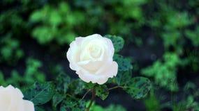 Τα τριαντάφυλλα στην πόλη Στοκ εικόνες με δικαίωμα ελεύθερης χρήσης