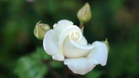 Τα τριαντάφυλλα στην πόλη Στοκ φωτογραφίες με δικαίωμα ελεύθερης χρήσης