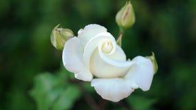 Τα τριαντάφυλλα στην πόλη Στοκ Φωτογραφία