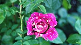 Τα τριαντάφυλλα στην πόλη Στοκ Εικόνες