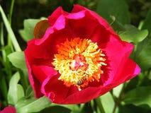 Τα τριαντάφυλλα, σύμβολο αγάπης roRoses, τριαντάφυλλα για την ημέρα της αγάπης, τα πιό θαυμάσια φυσικά τριαντάφυλλα κατάλληλα για Στοκ Εικόνες