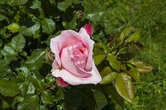 Τα τριαντάφυλλα, σύμβολο αγάπης roRoses, τριαντάφυλλα για την ημέρα της αγάπης, τα πιό θαυμάσια φυσικά τριαντάφυλλα κατάλληλα για Στοκ Εικόνα
