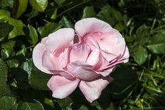 Τα τριαντάφυλλα, σύμβολο αγάπης roRoses, τριαντάφυλλα για την ημέρα της αγάπης, τα πιό θαυμάσια φυσικά τριαντάφυλλα κατάλληλα για Στοκ Φωτογραφίες