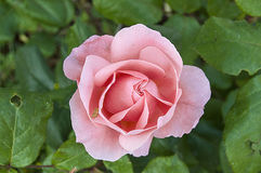 Τα τριαντάφυλλα, σύμβολο αγάπης roRoses, τριαντάφυλλα για την ημέρα της αγάπης, τα πιό θαυμάσια φυσικά τριαντάφυλλα κατάλληλα για Στοκ εικόνα με δικαίωμα ελεύθερης χρήσης