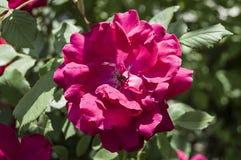 Τα τριαντάφυλλα, σύμβολο αγάπης roRoses, τριαντάφυλλα για την ημέρα της αγάπης, τα πιό θαυμάσια φυσικά τριαντάφυλλα κατάλληλα για Στοκ εικόνες με δικαίωμα ελεύθερης χρήσης