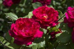 Τα τριαντάφυλλα, σύμβολο αγάπης roRoses, τριαντάφυλλα για την ημέρα της αγάπης, τα πιό θαυμάσια φυσικά τριαντάφυλλα κατάλληλα για Στοκ φωτογραφία με δικαίωμα ελεύθερης χρήσης